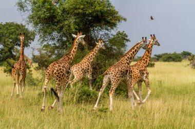 Giraffes running off
