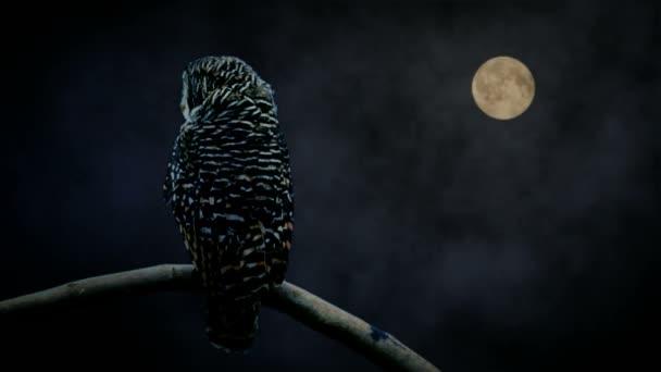 Eule, die gerade im Mondlicht