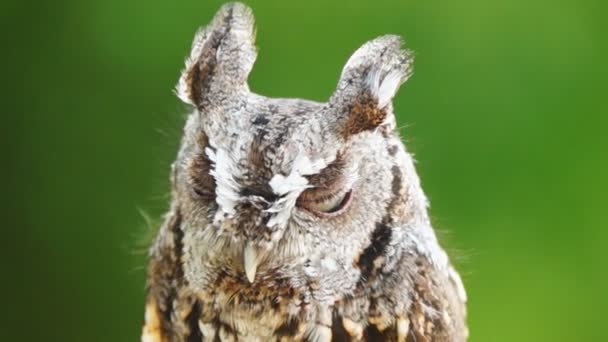 východní screech owl