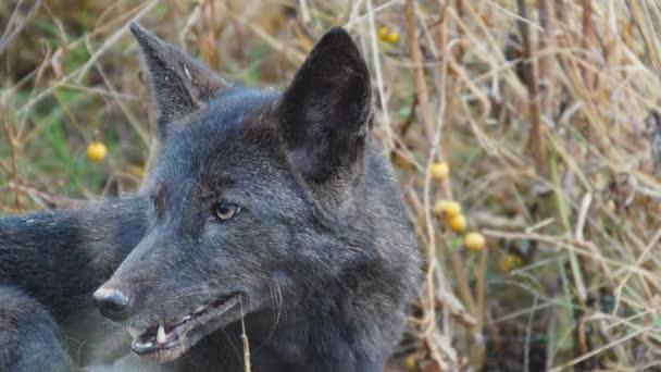 vzácné černé coyote