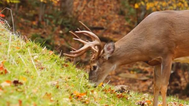 Vidloroh americký starší buck v říjnu
