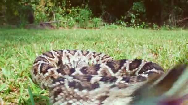 Eastern Diamondback Rattlesnake bites camera
