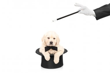 Small dog in top hat