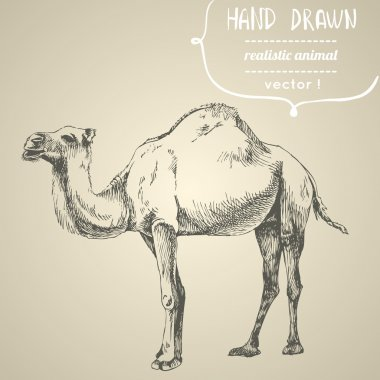 Camel. Hand drawn vector illustration.