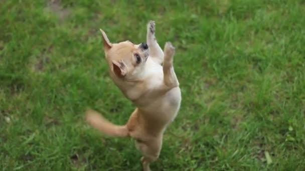 Chihuahua két lábon - 1080p ugrás
