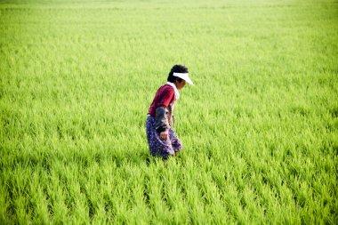 Woman farmer in rice field