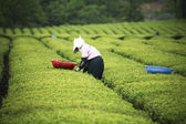 People working at  Boseong Green Tea Field