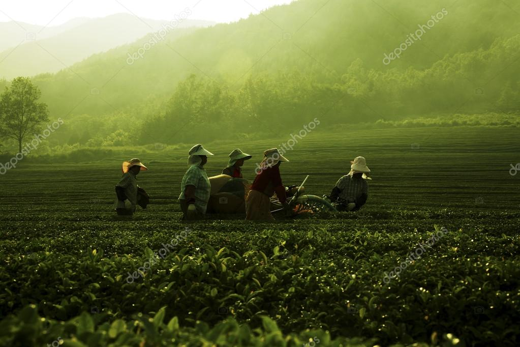 People working at  Boseong Green Tea Field