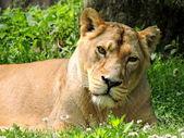 Photo Lioness.