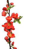 Blossoming twig of Japanese quince (Chaenomeles japonica ) on white background