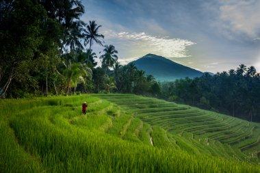 Farmer on the rice fields