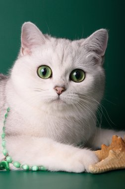 British shorthair chinchilla cat on a green background