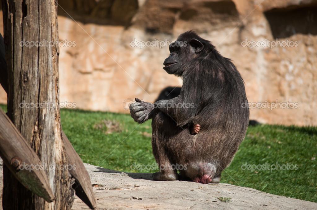 chimpanzee in Lisbon Zoo