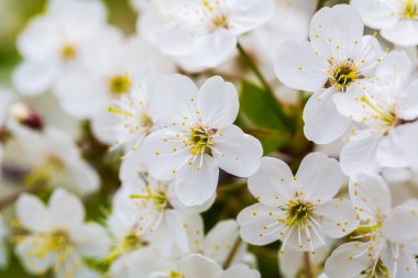 Inflorescences of white flowers of cherry blossoms.