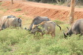 Photo Wasserbüffel Herde