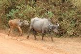 Photo Wasserbüffel mit Kalb