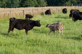 Photo Kuh mit Kaelbern