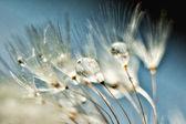 Fotografie Pampeliška semena kapkami vody