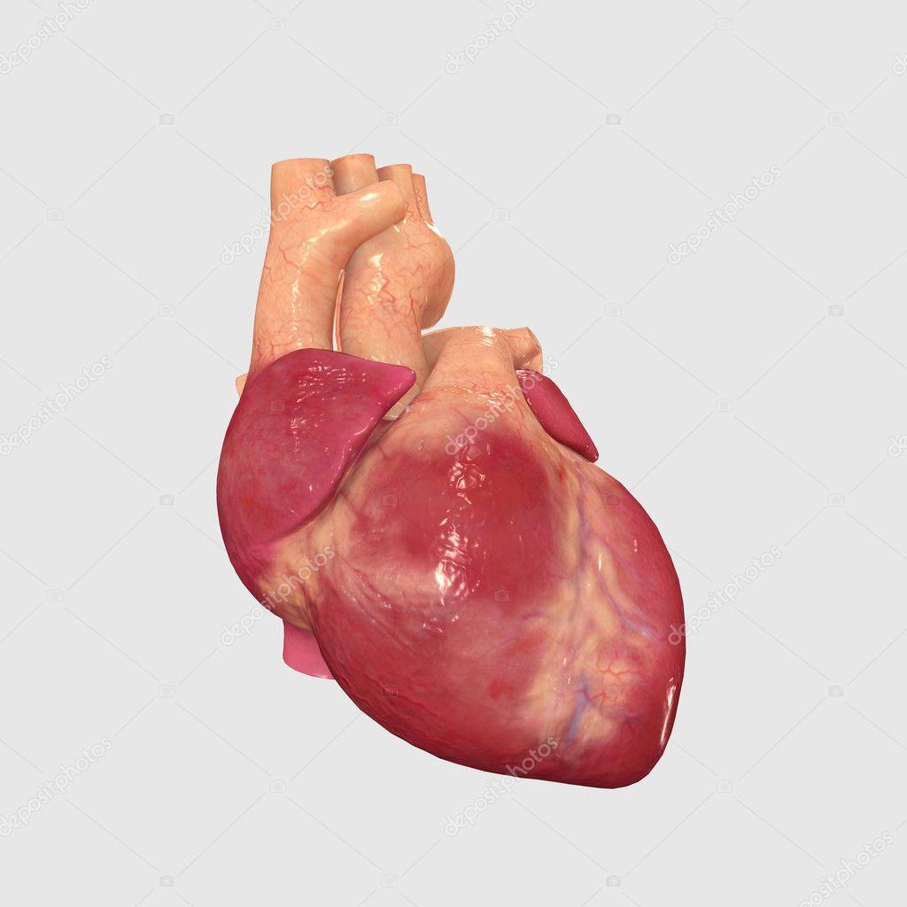 Coeur Humain Photo coeur humain — photographie sciencepics © #47845053