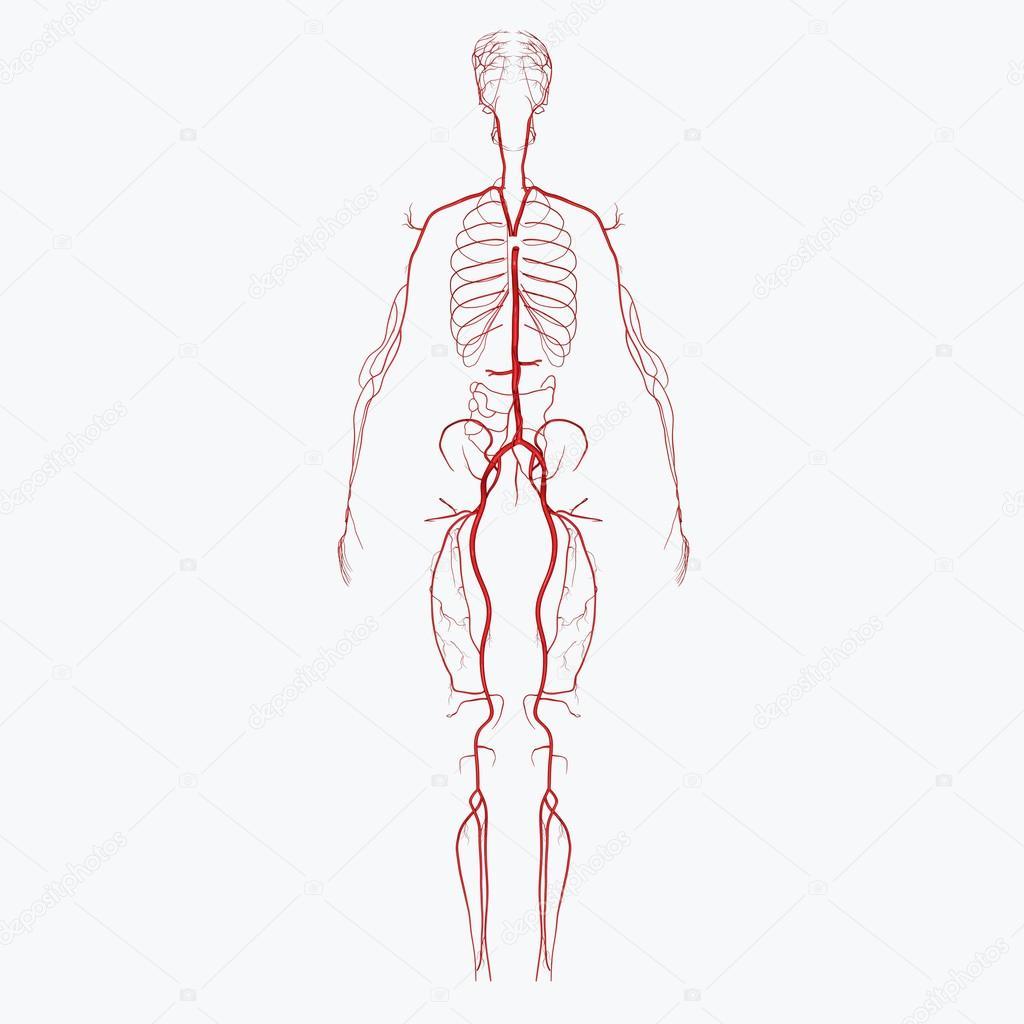 Arteries — Stock Photo © sciencepics #47863563