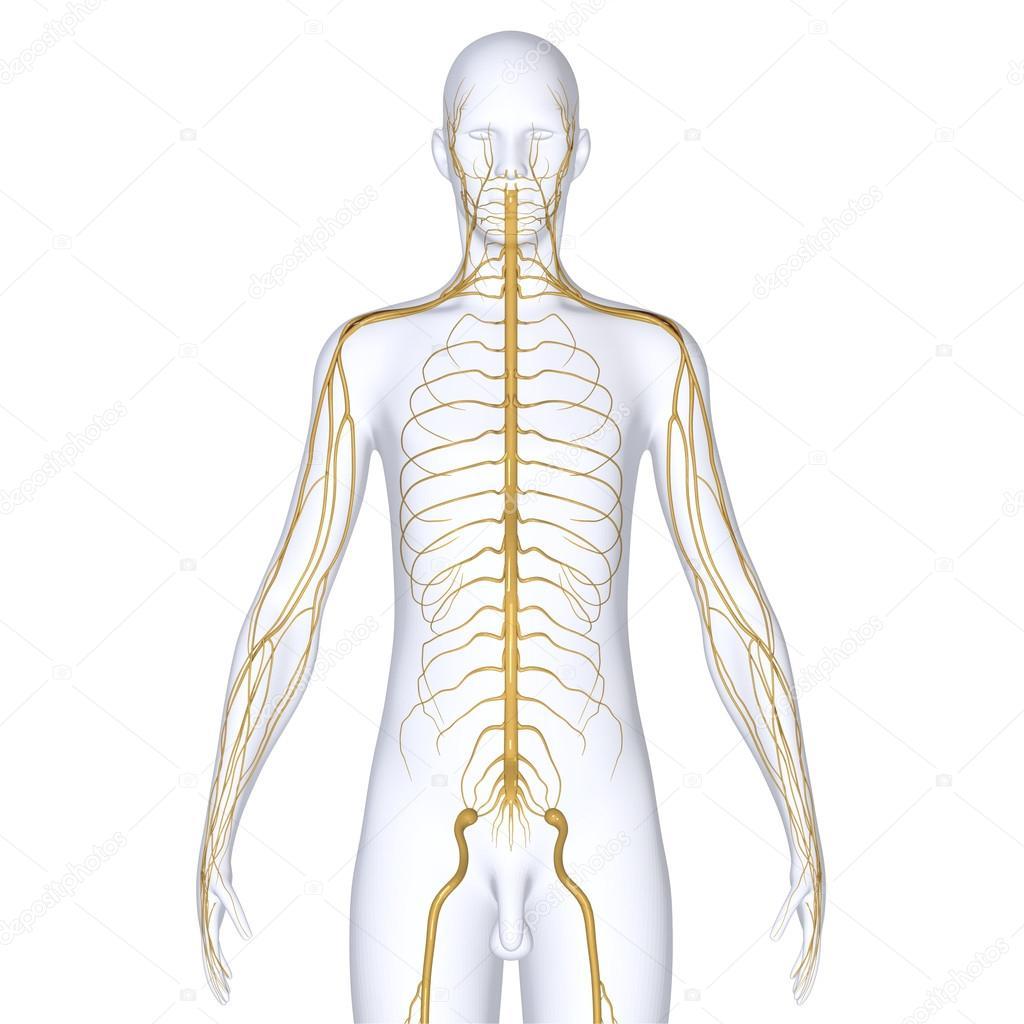 Nerven — Stockfoto © sciencepics #47863577