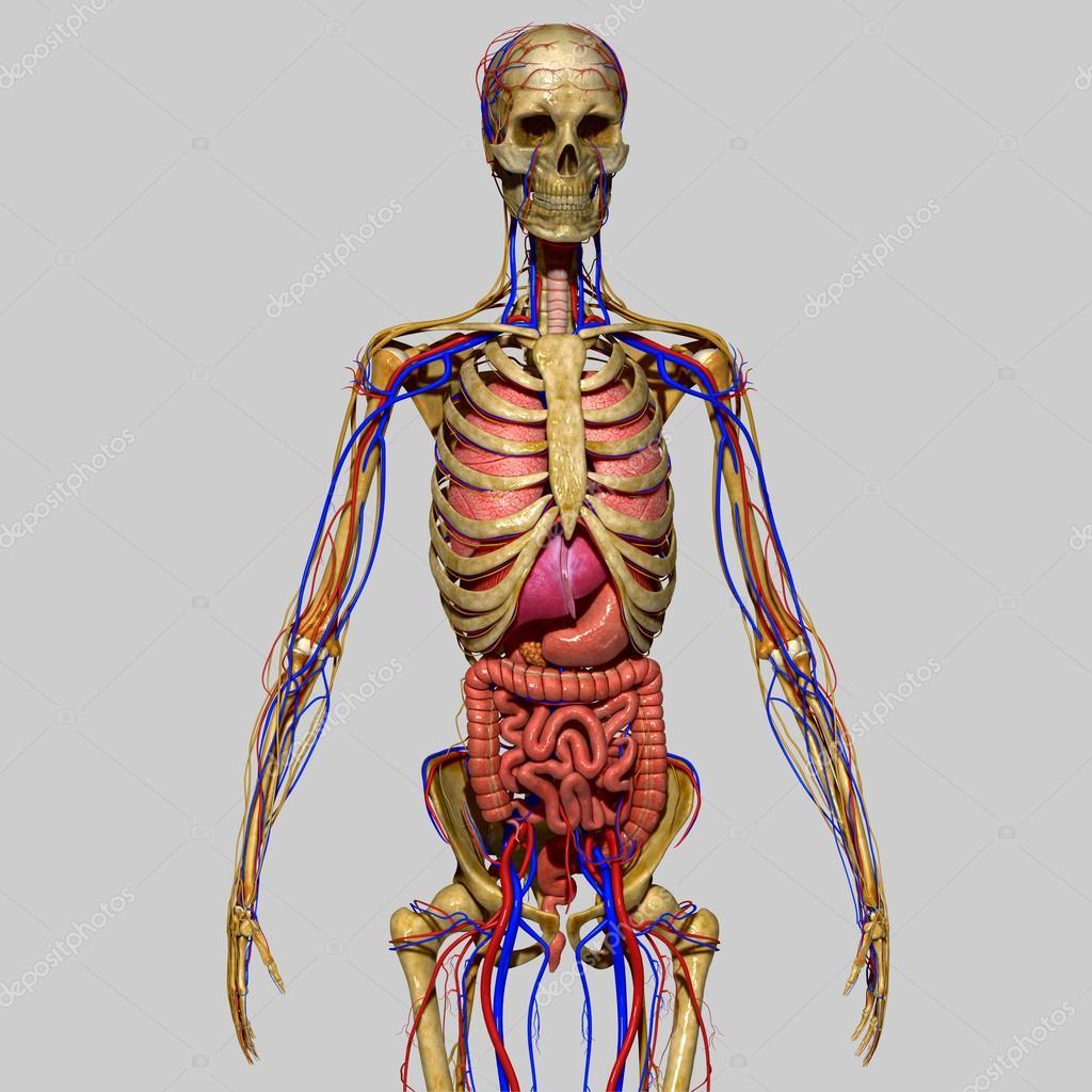 menschliche Anatomie — Stockfoto © sciencepics #47863587