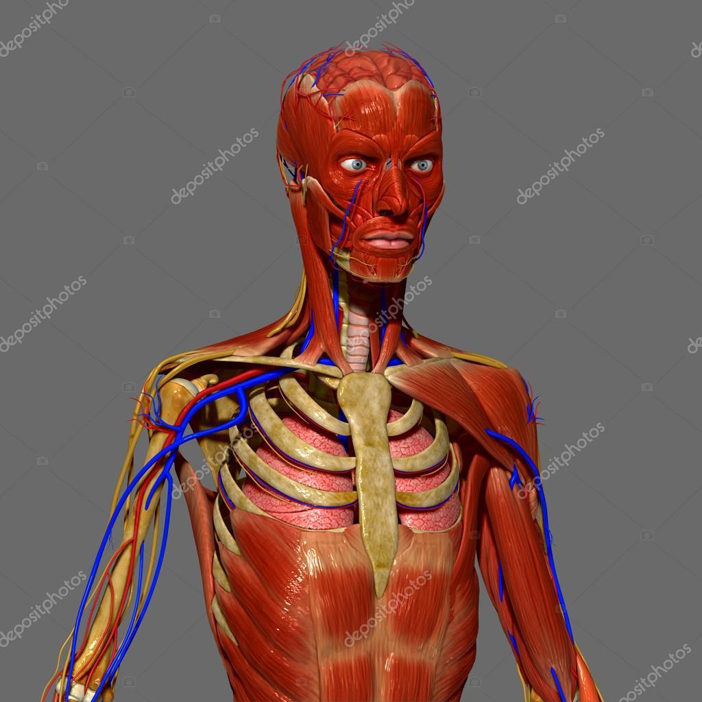 menschliche Anatomie — Stockfoto © sciencepics #47863589