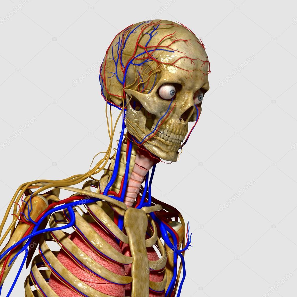 Anatomia Humana Stock Photo Sciencepics 47863591