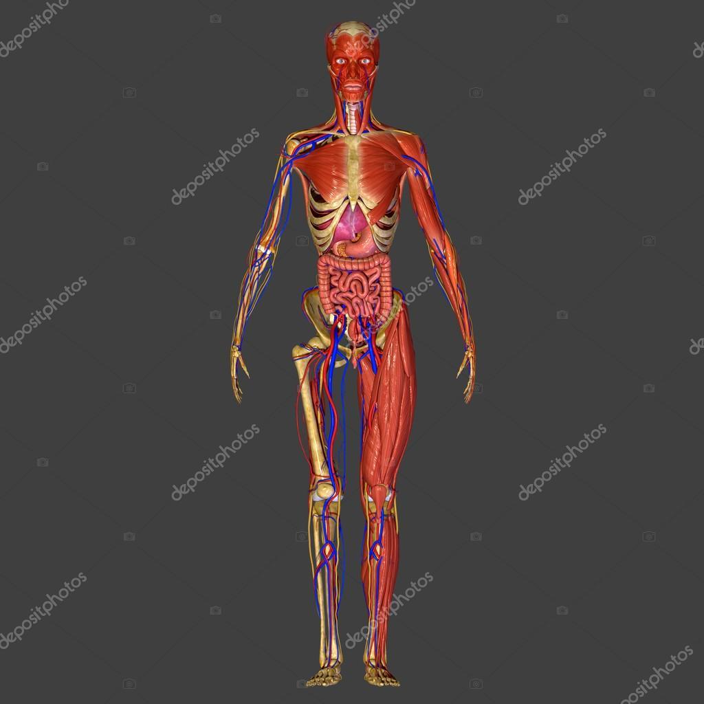 menschliche Anatomie — Stockfoto © sciencepics #47878793