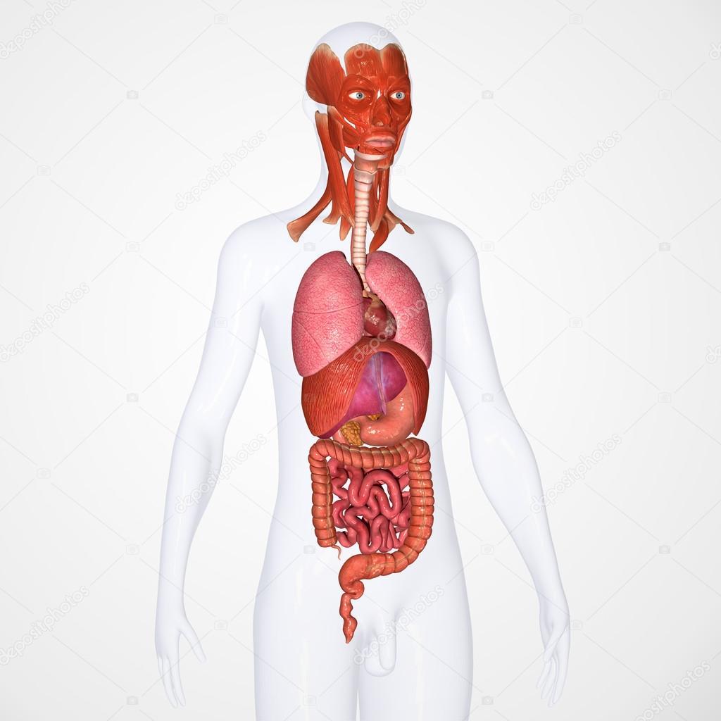 menschliche Anatomie — Stockfoto © sciencepics #47878801