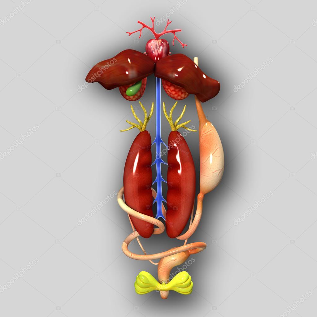 Frosch-Anatomie — Stockfoto © sciencepics #47878865