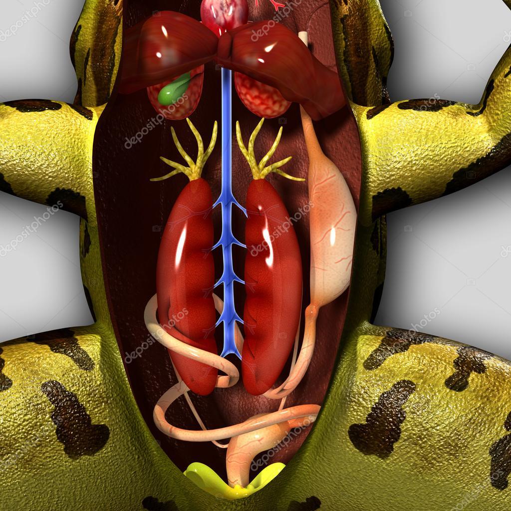 Anatomía de la rana — Fotos de Stock © sciencepics #47878881