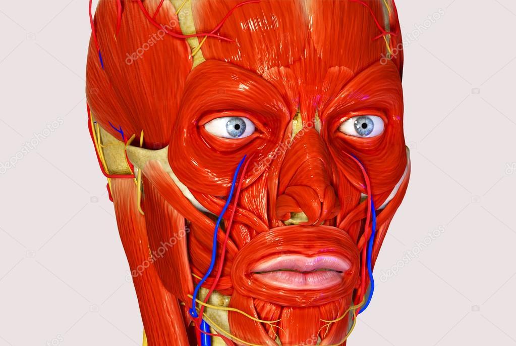 músculos faciales — Foto de stock © sciencepics #47996909