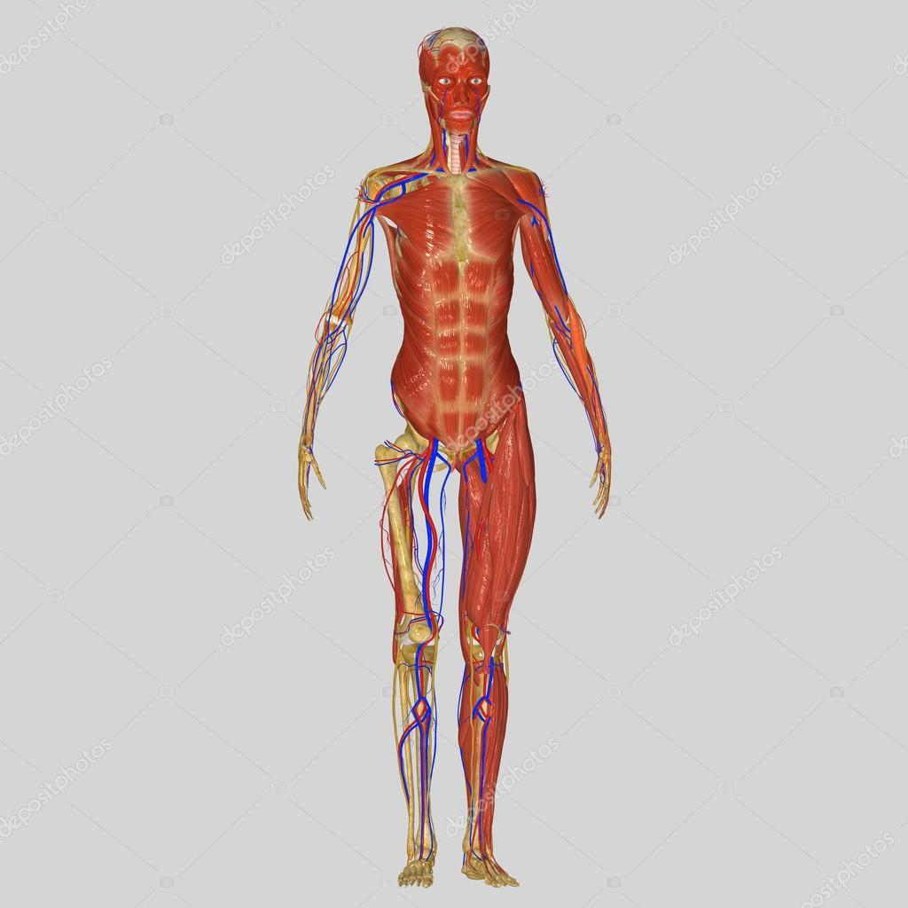 anatomía humana — Foto de stock © sciencepics #47996943