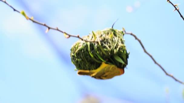 Vogel hängt aus dem Nest