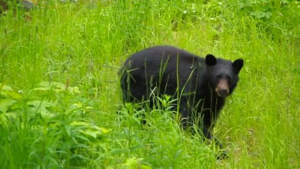 Divoký černý medvěd