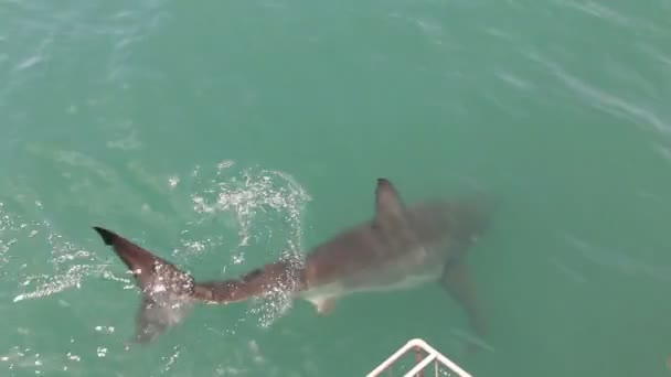 Great white sharks attacking a fish bate.