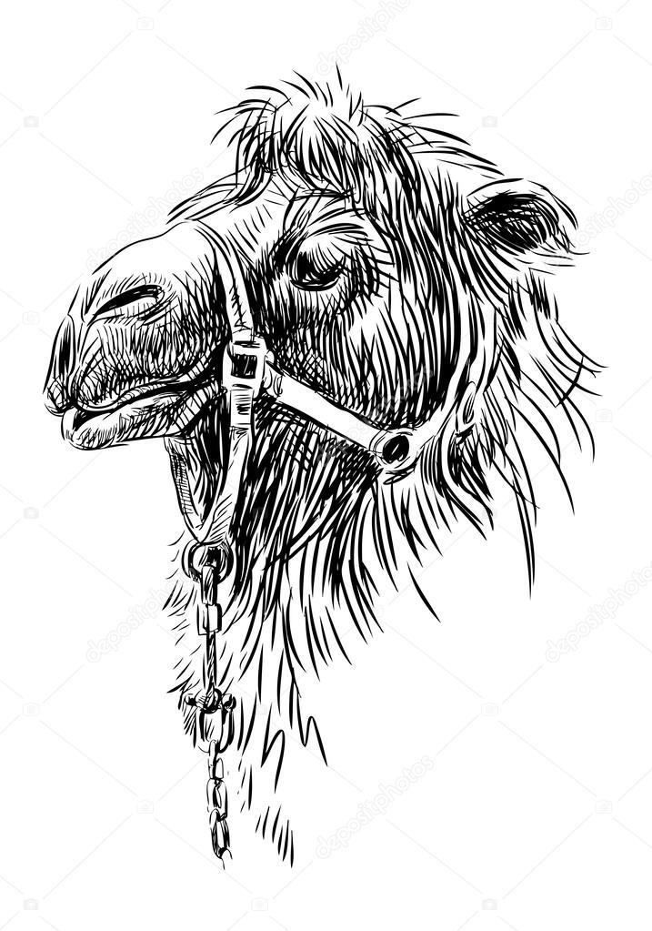 cabeza de camello — Vector de stock © alekseimakarov #47152389