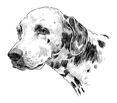 Portrait of dalmatian