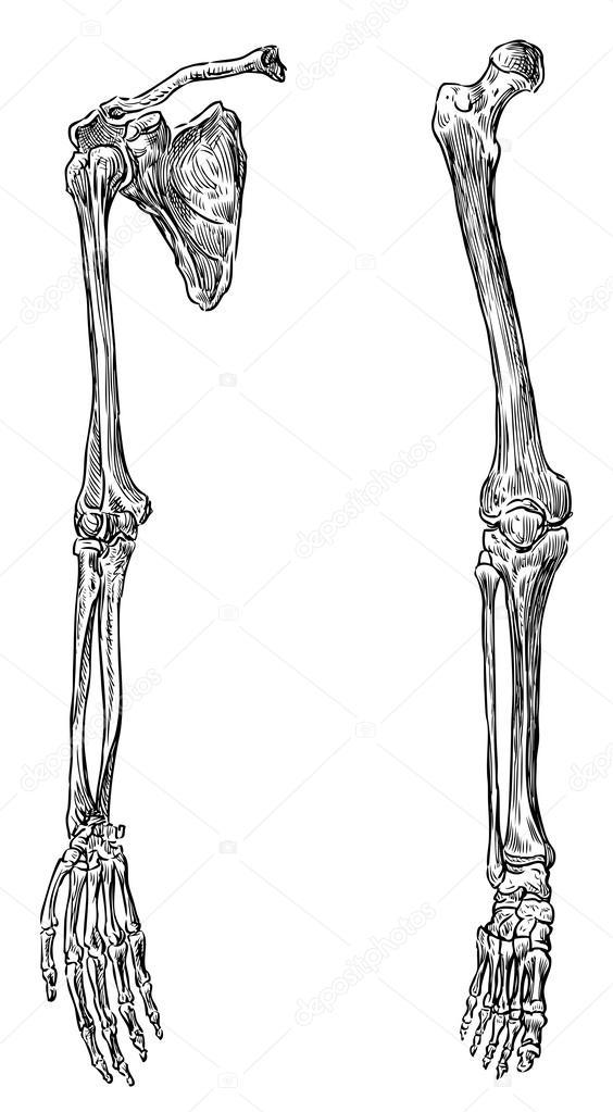 Parts of human skeleton — Stock Vector © alekseimakarov #47160313