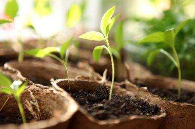 Room seedlings in pots