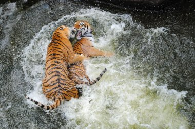 Tigers Play Wrestling in Water