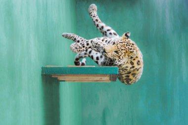 Leopard Falling from the Shelf