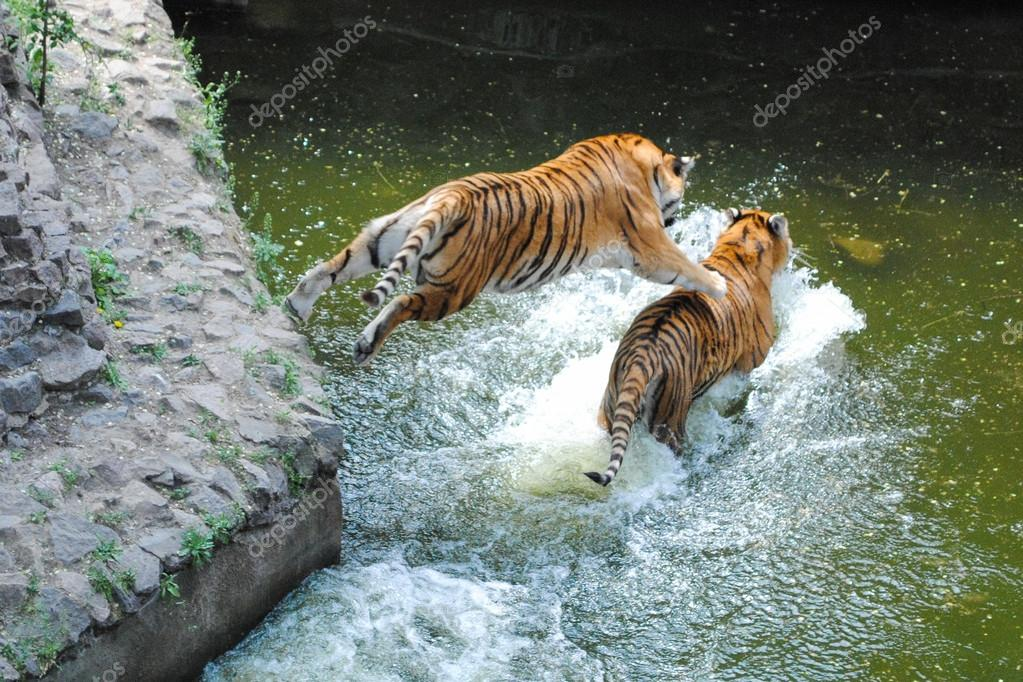 Tiger Jumping on Tiger in Water