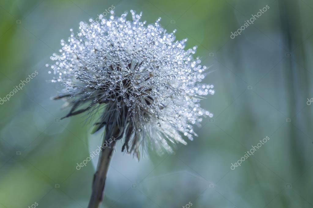 Early morning dew on dandelion
