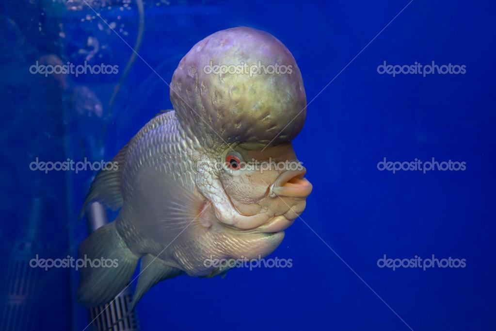 poissons d 39 aquarium poisson corne fleur sur un cran bleu photographie vampirepod 49271561. Black Bedroom Furniture Sets. Home Design Ideas