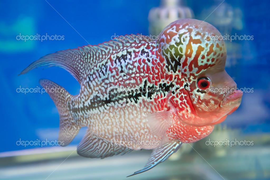 Aquarium fish, flower horn fish on blue screen — Stock Photo