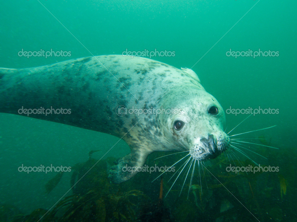 Grey seal in North Sea