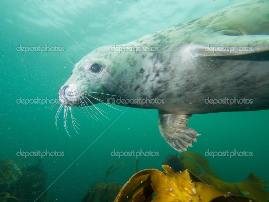 Grey seal in North Sea