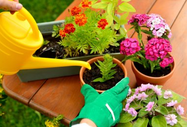 Hands in green gloves plant flowers in pot